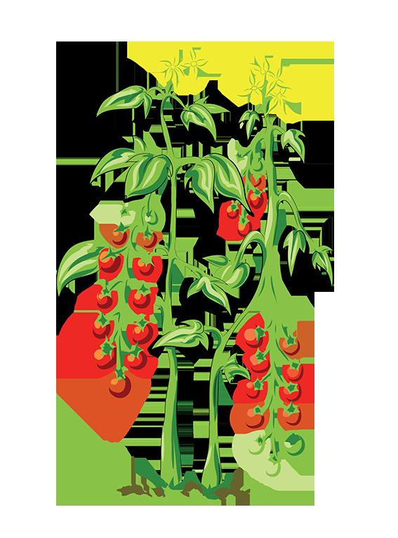 Cherrytomat fra Greenify