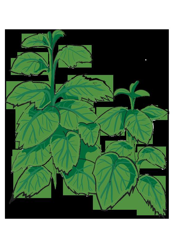 Citronmelisse - Fyld selv altankasser fra Greenify