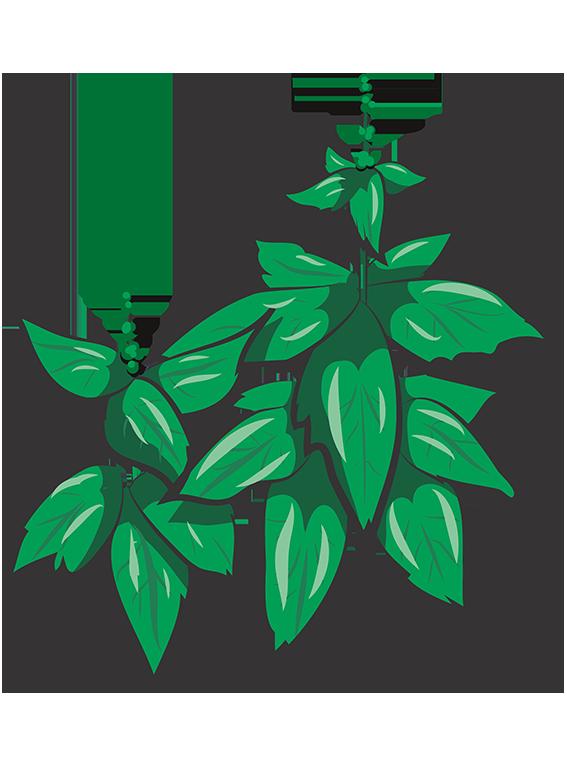 Grøn basilikum fra Greenify