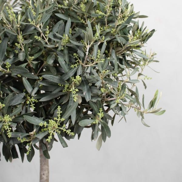 Oliventræ fra Greenify