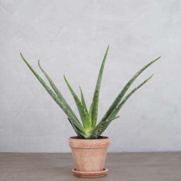 Aloe vera fra Greenify