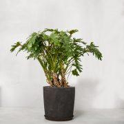 Opstammet Philodendron xanadu