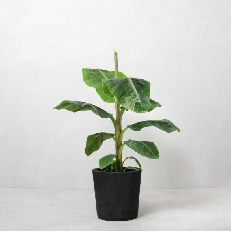 Bananpalme fra Greenify