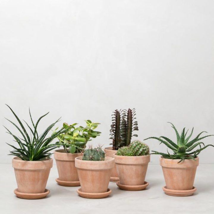 stor kaktuspakke