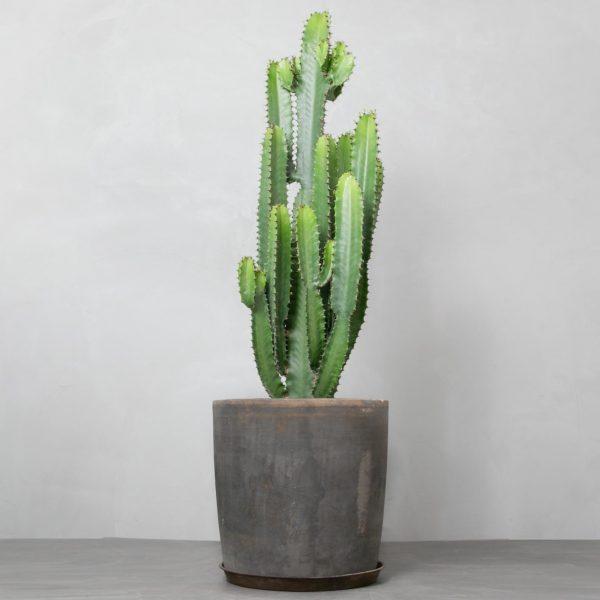 Euphorbia Eritrea-ofelia-krukke greenify (1)