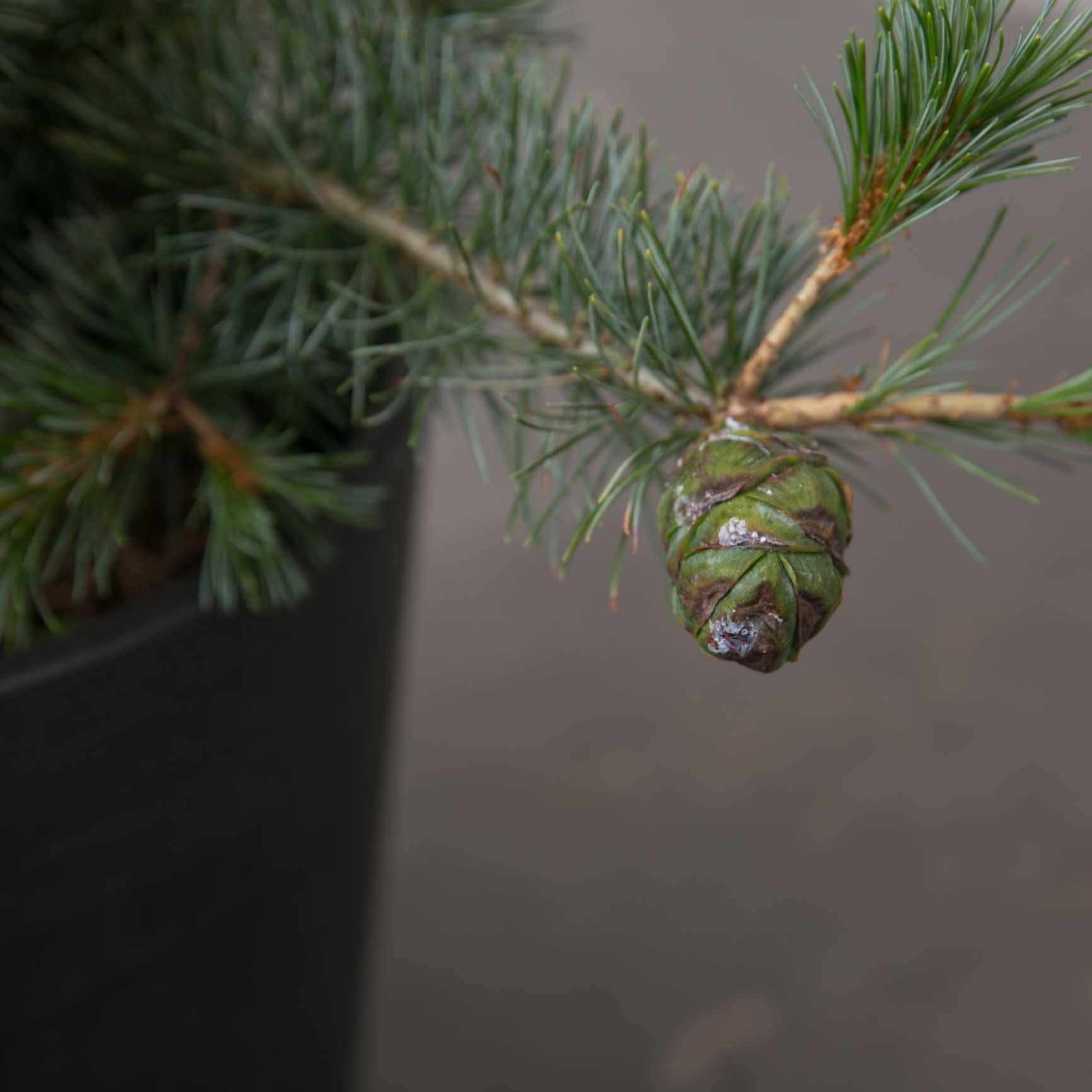 Penselfyr fra Greenify
