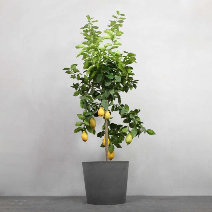 Citrontræ fra Greenify