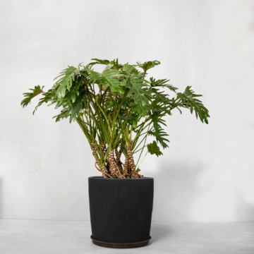 Opstammet Philodendron Xanadu fra Greenify