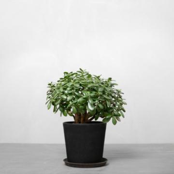 Paradistræ fra Greenify