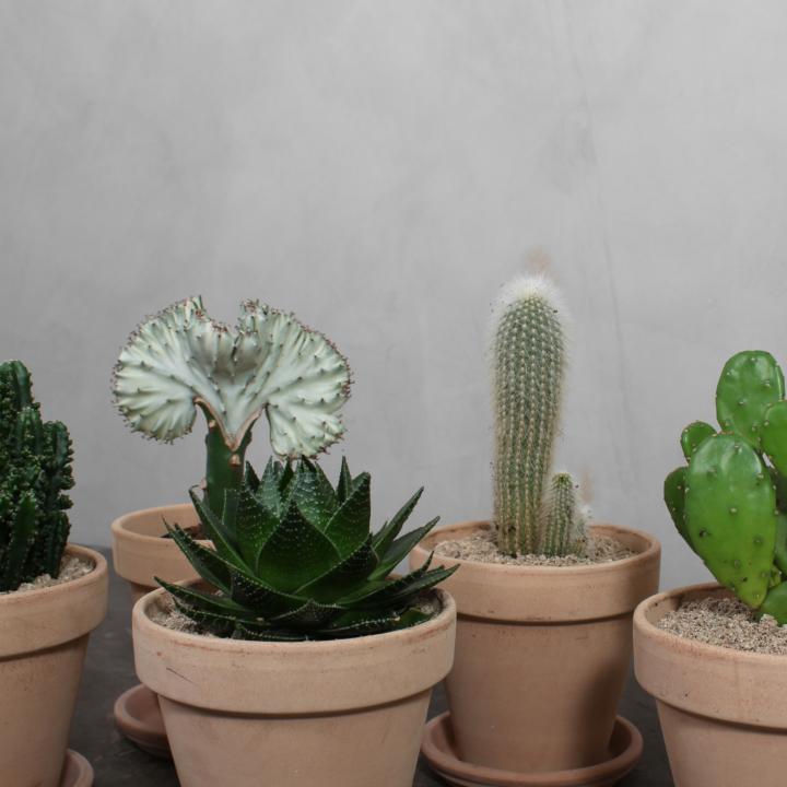 Stor Kaktuspakke fra Greenify