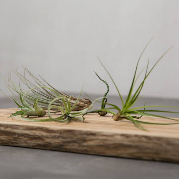 air-plants-closeup-skarebrat1