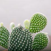 Mickey Mouse Kaktus