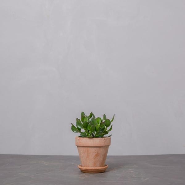 paradistrae crassula ovata lille