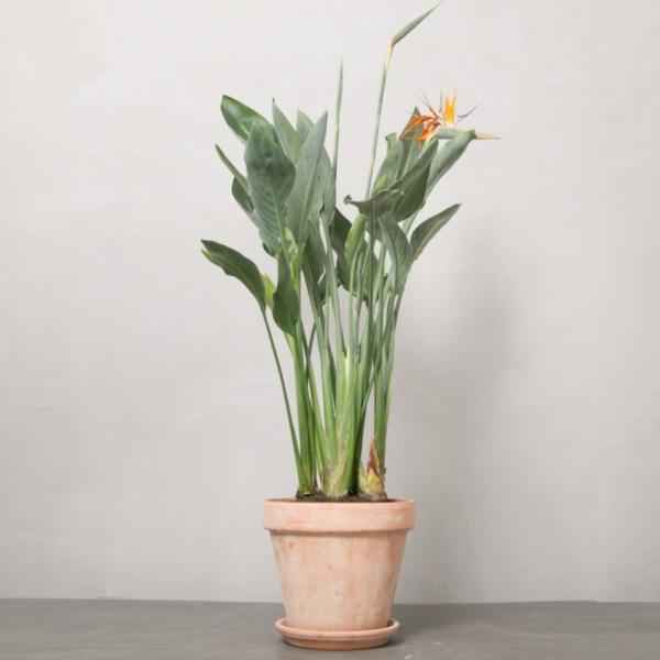 Strelitzia reginae fra Greenify