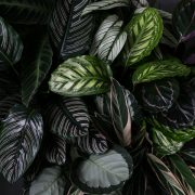 Calathea-Greenify-image2