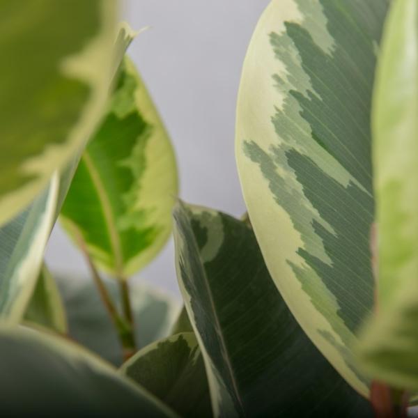 3-grenet Broget Gummitræ fra Greenify