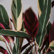 Calathea-Stromanthe-Greenify-Plante-Tendenser-2017-detaljer1