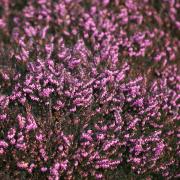 forårslyng pink blomst