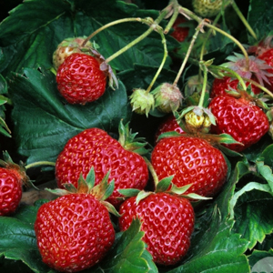 Jordbær - Fyld selv altankasser fra Greenify