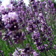 Lavendel-fra-Greenify-9