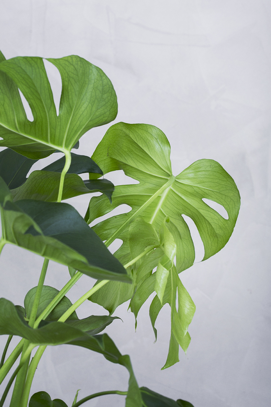 Picture of: Monstera Fra Greenify Fa Den Leveret Direkte Til Doren
