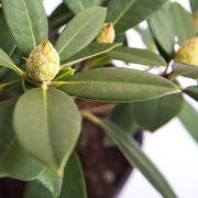 Rhododendron Greenify