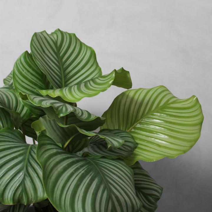 Calathea Orbifolia fra Greenify