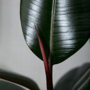 Mørkbladet Gummitræ fra Greenify