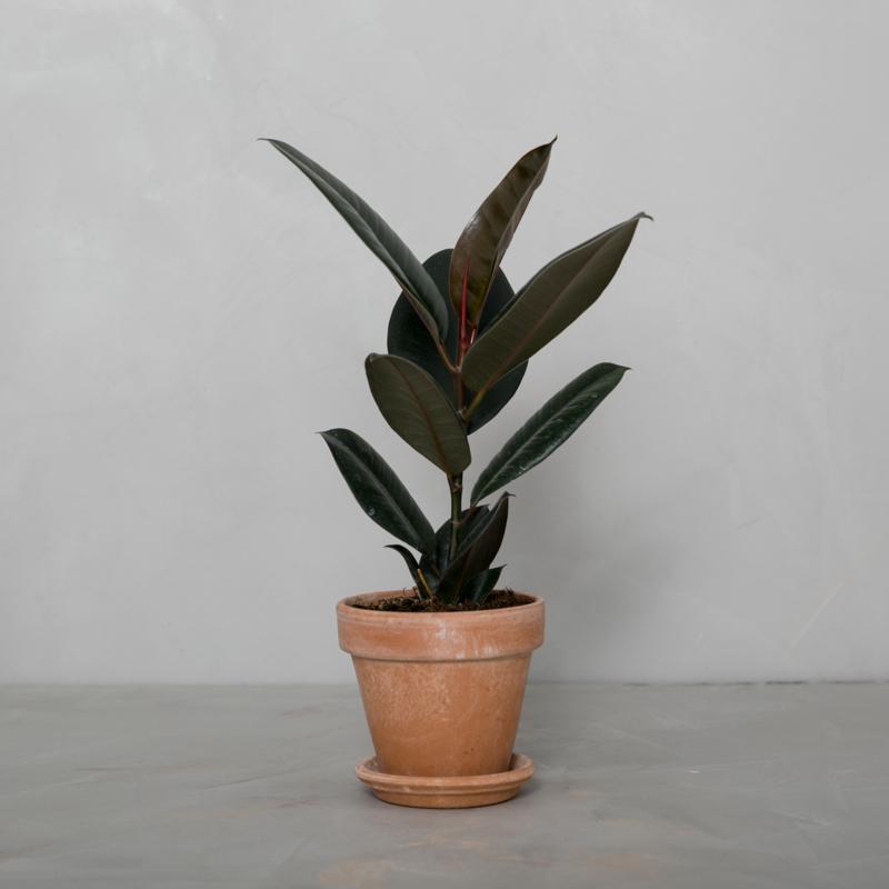 Mørkbladet Gummitræ
