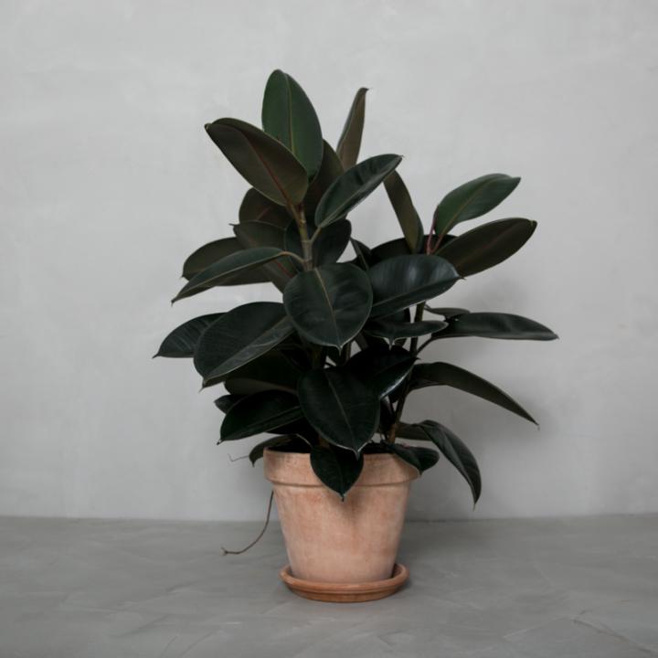3-grenet mørkbladet Gummitræ fra Greenify