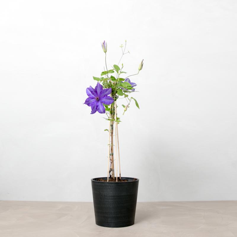 clematis, slyngplante, blomster, udendørsplante, klatreplante