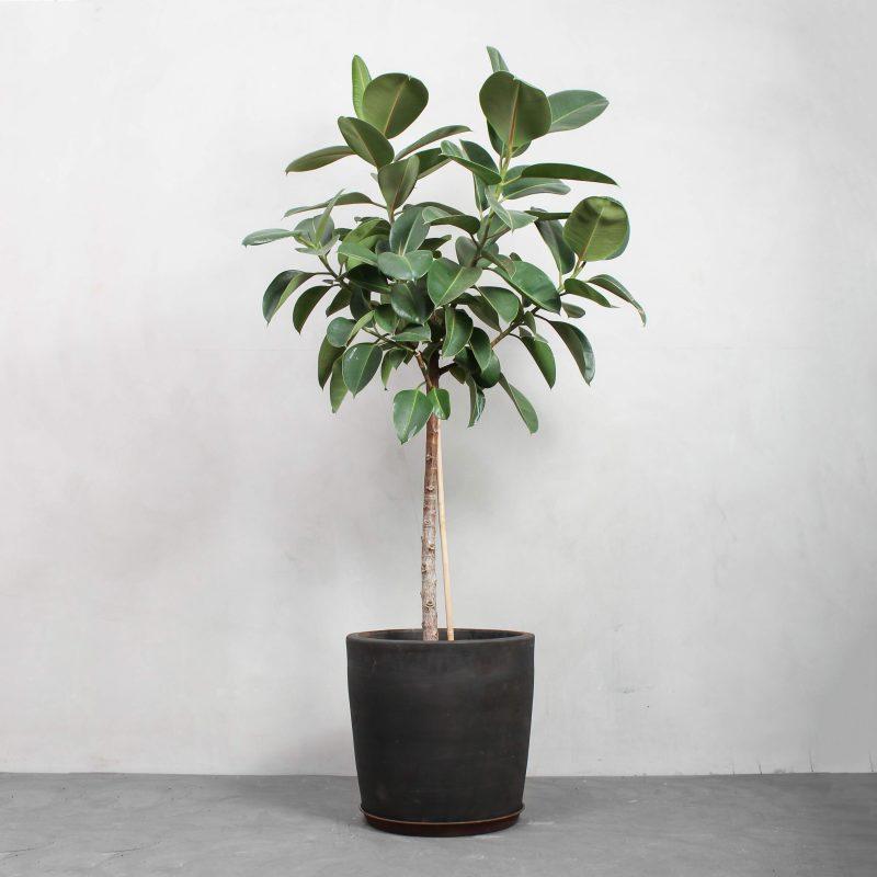 Opstammet Gummitræ fra Greenify