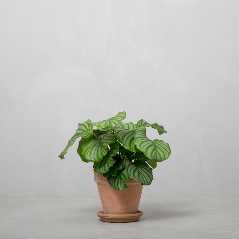 Calathea_orbifolia_Greenify