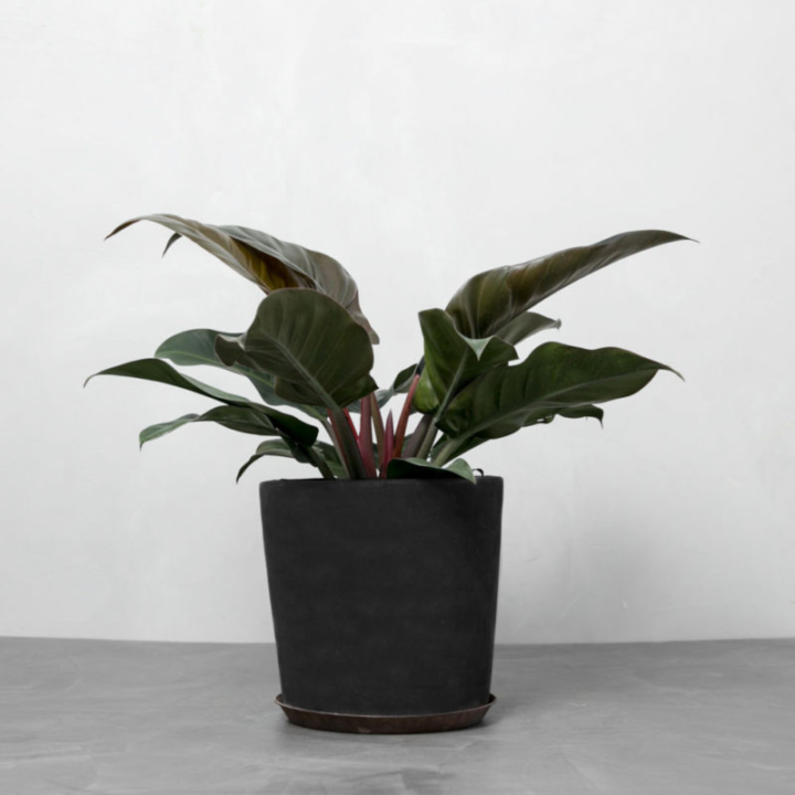 Rød Philodendron Imperial fra Greenify