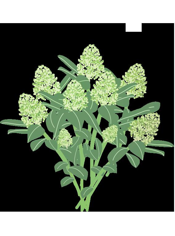 Hvid Skimmia - Fyld selv altankasser fra Greenify