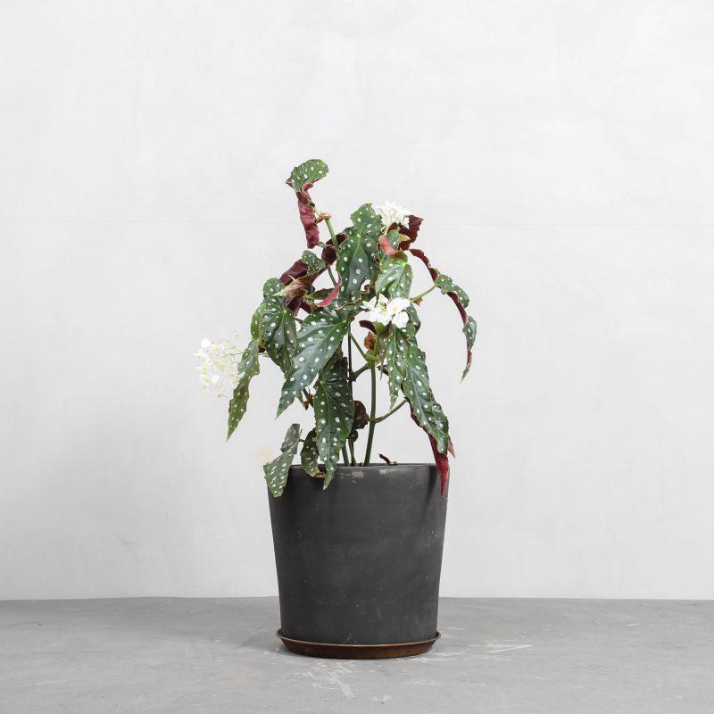 Begonia maculata fra Greenify