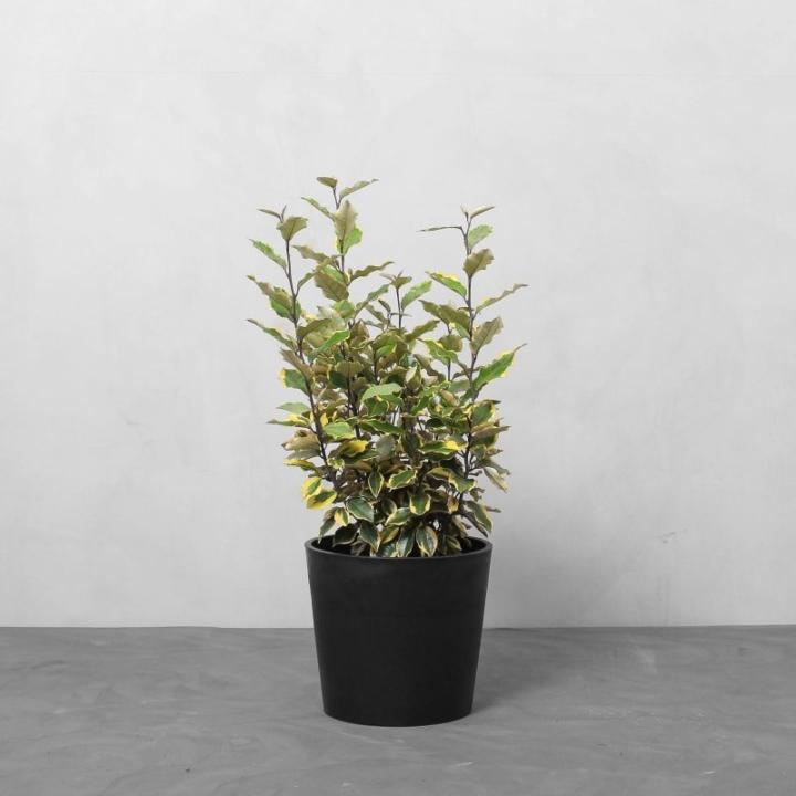 Elaeagnus pungens fra Greenify
