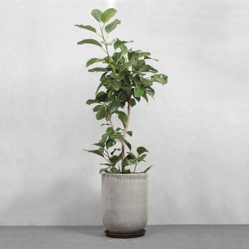 Ficus Audrey fra Greenify