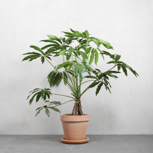 Opstammet Philodendron goeldii fra Greenify
