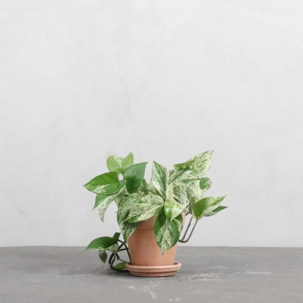 Marble Queen fra Greenify