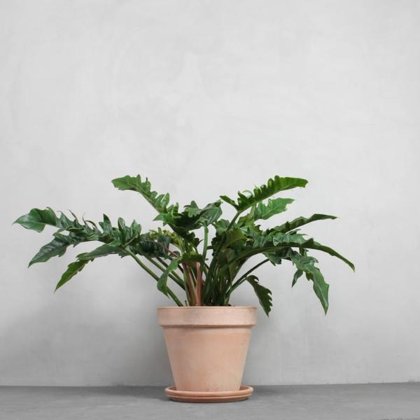 Philodendron narrow 'Escape' fra Greenify
