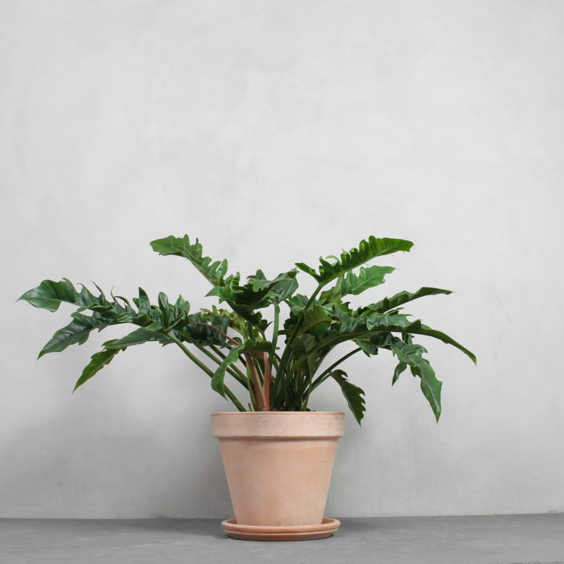 Philodendron narrow 'Escape' fra Greenify