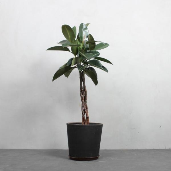 Gummitræ med snoet stamme fra Greenify