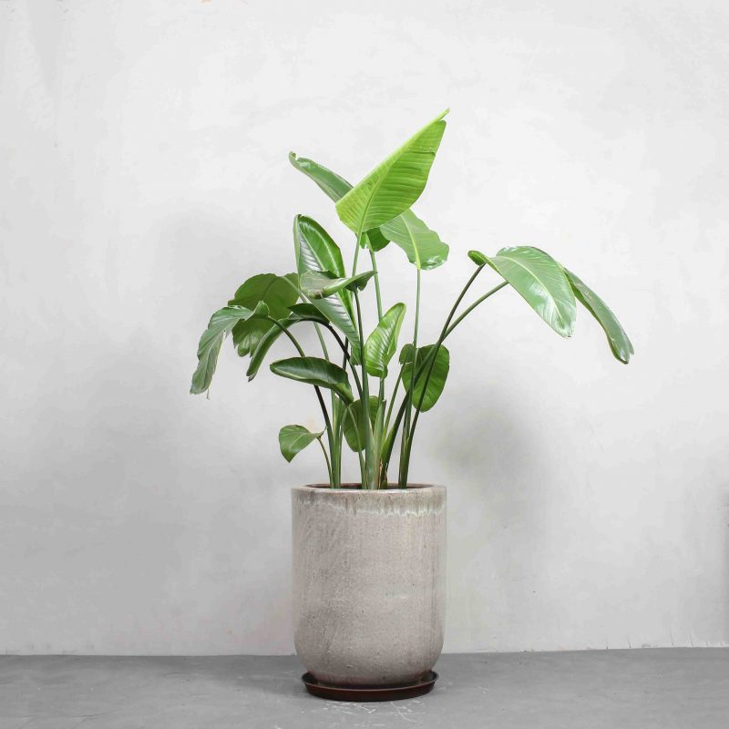 Strelitzia nicolai fra Greenify