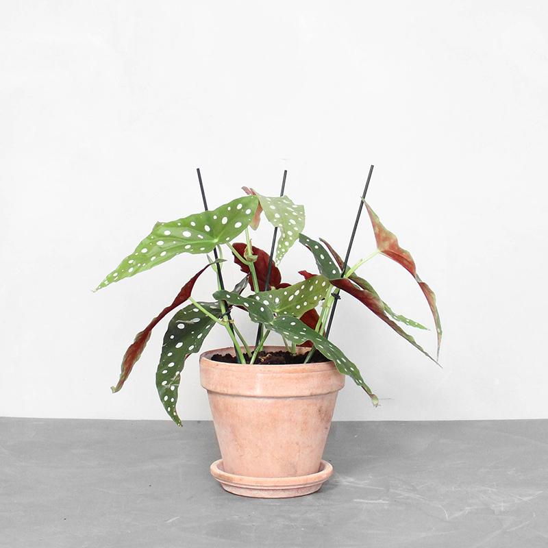 Begonia maculata