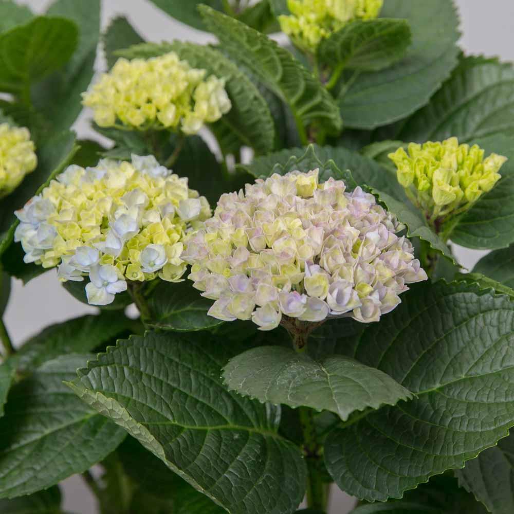 Blå Hortensia - Greenify