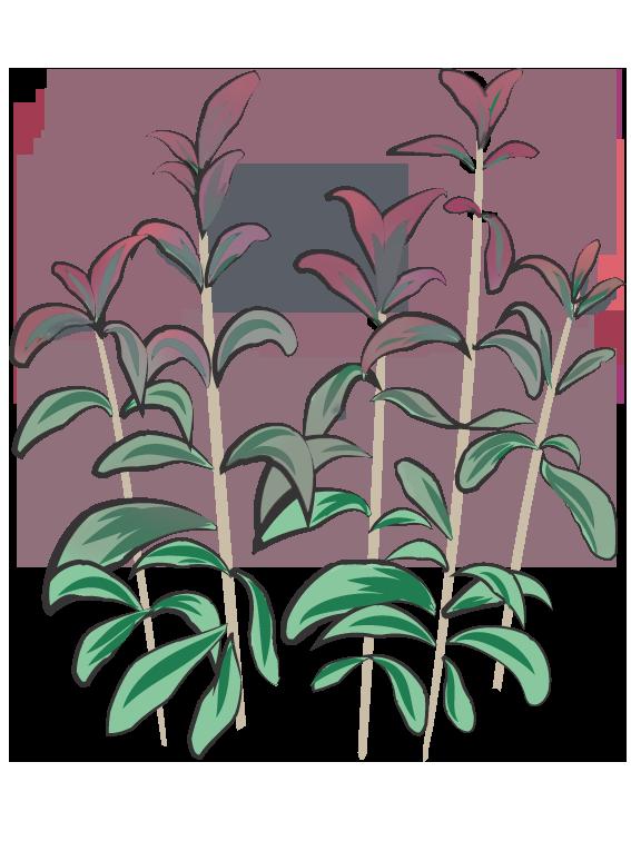 Rød Salvie- Fyld selv altankasser fra Greenify