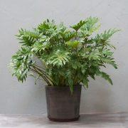 Stor Philodendron xanadu fra Greenify