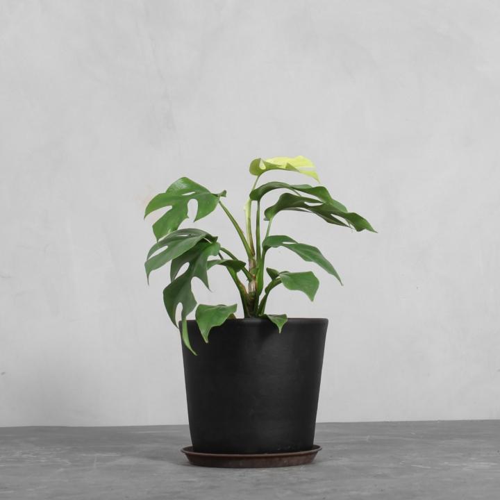 Rhaphidophora fra Greenify