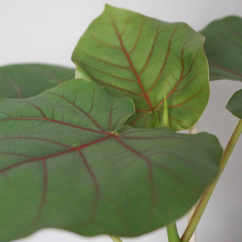 Ficus petiolaris fra Greenify